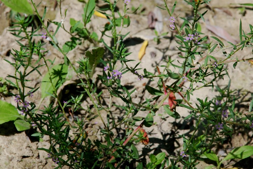 Lythrum hyssopifolia 18