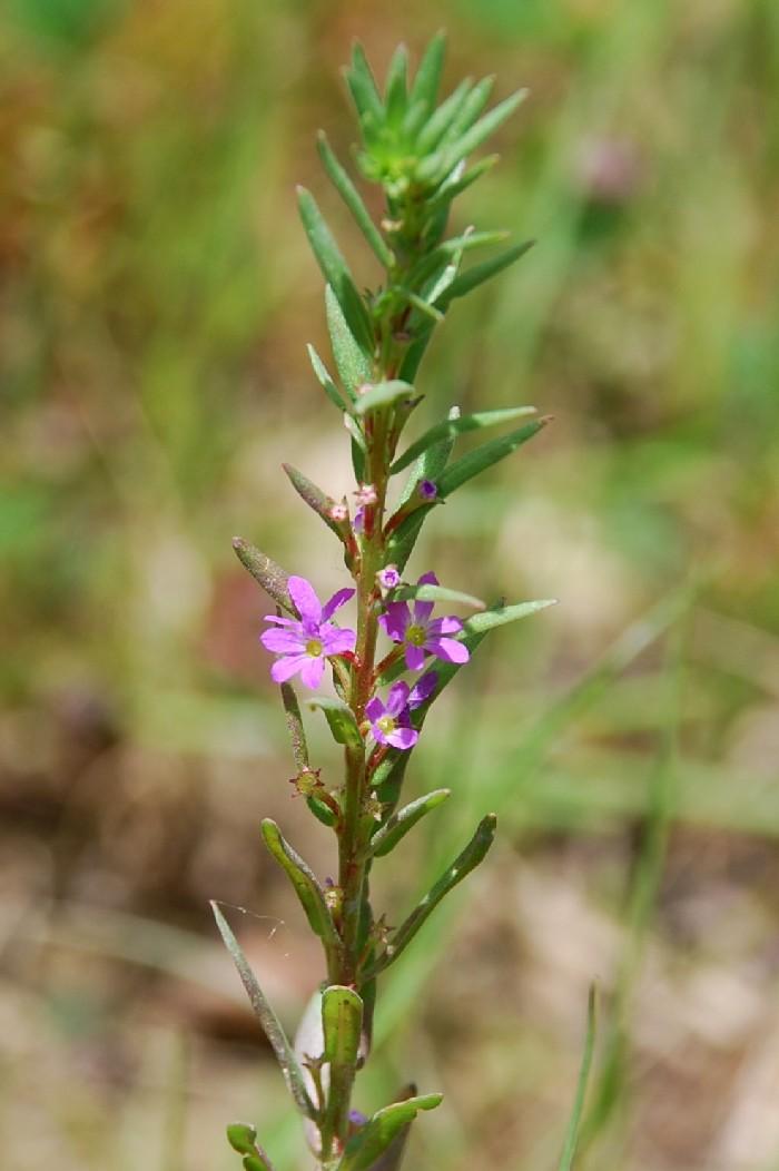 Lythrum hyssopifolia 2
