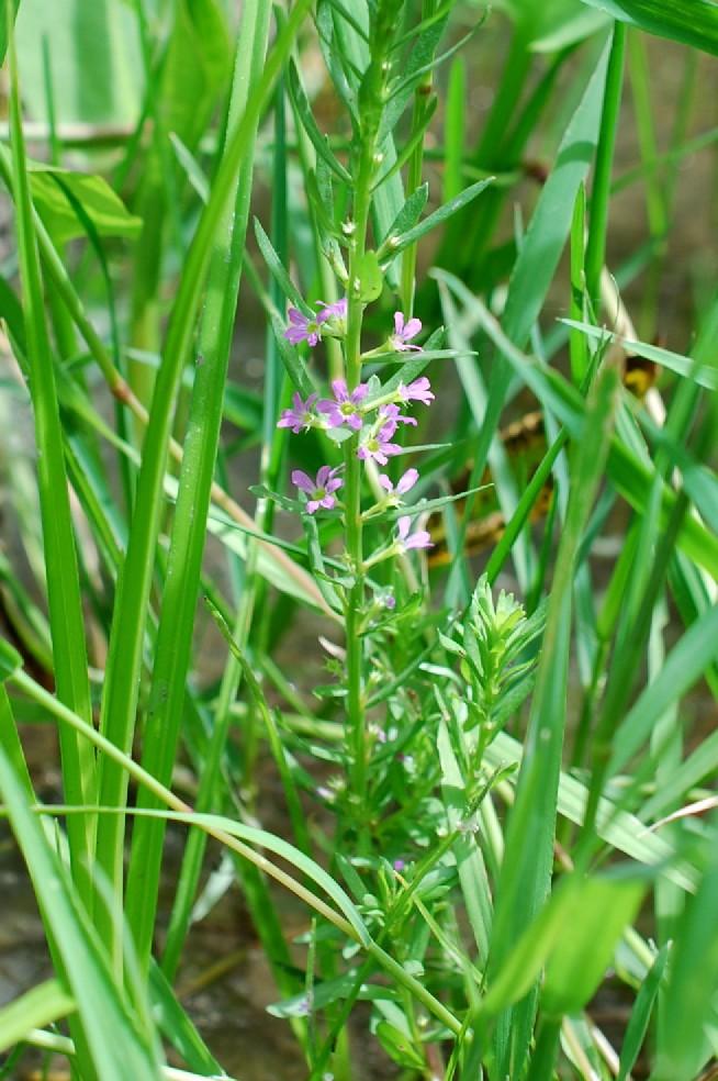Lythrum hyssopifolia 26