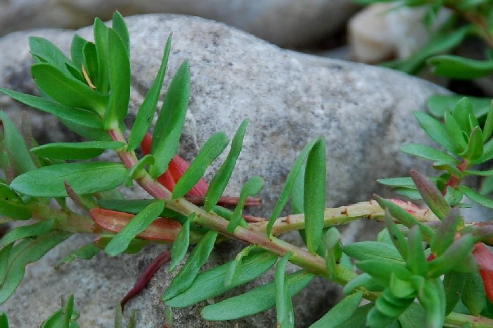Lythrum hyssopifolia 4