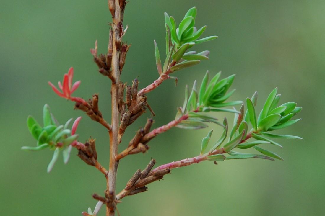 Lythrum hyssopifolia 5