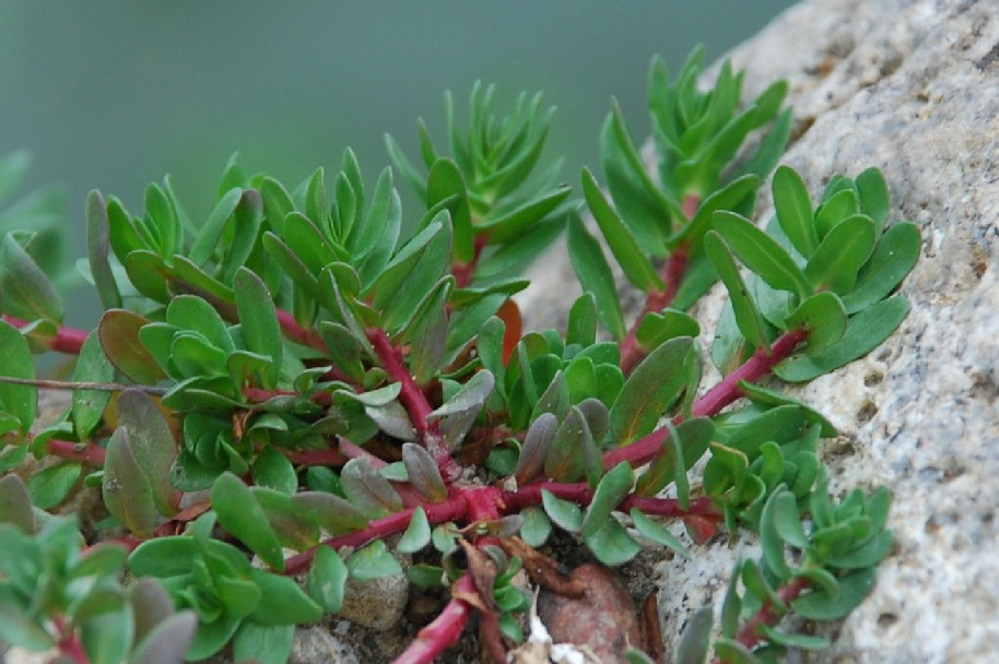 Lythrum hyssopifolia 6