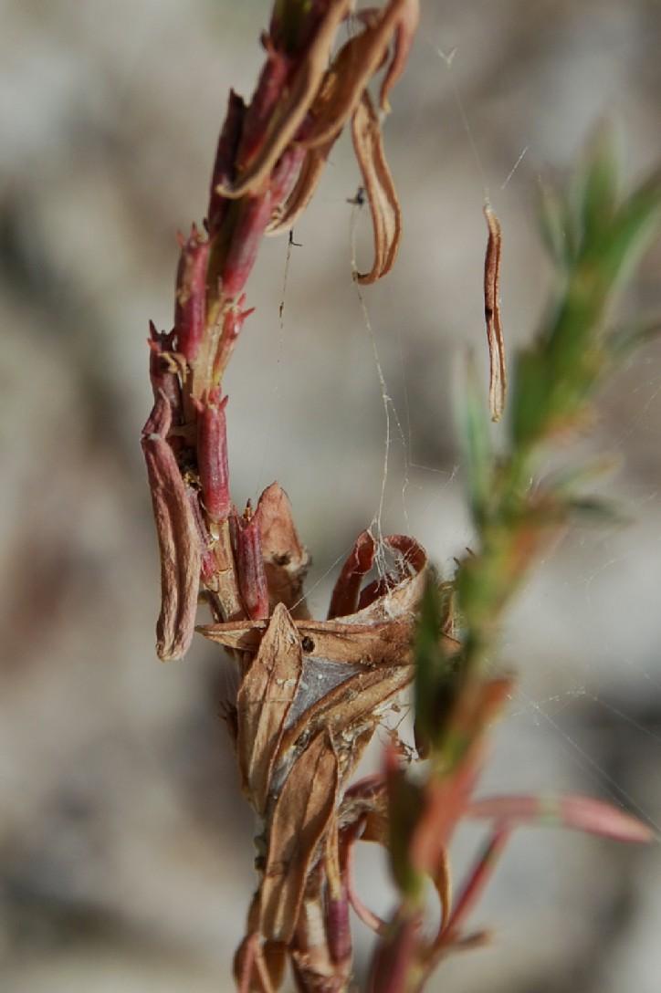Lythrum hyssopifolia 9