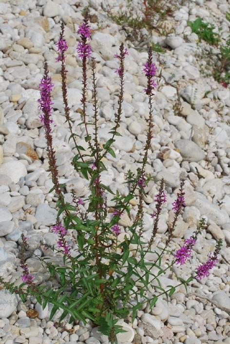 Lythrum salicaria 13