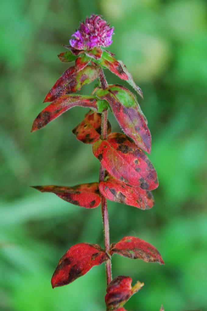 Lythrum salicaria 14