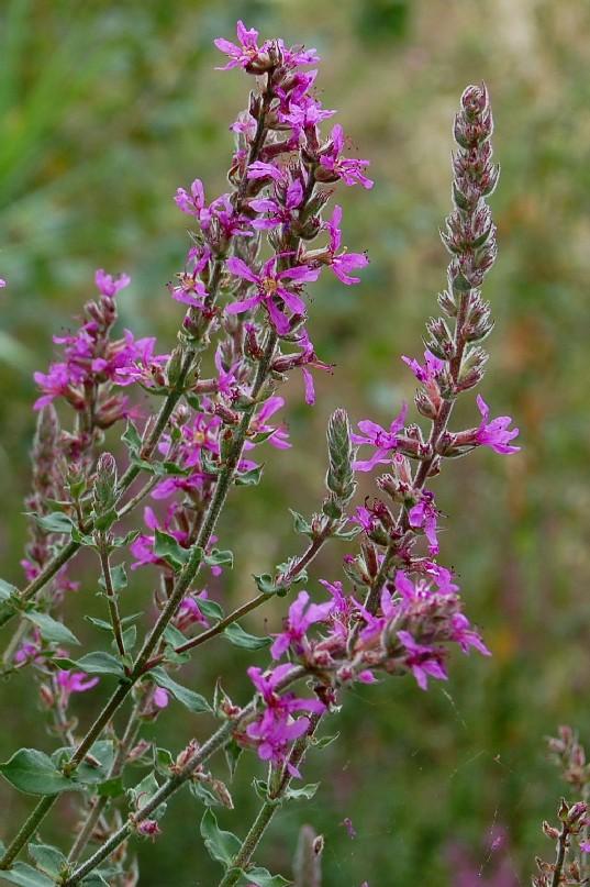 Lythrum salicaria 2