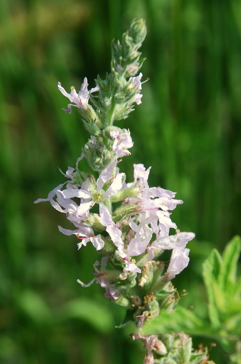 Lythrum salicaria 22