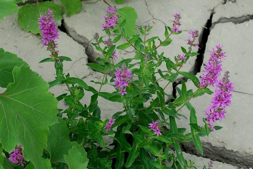 Lythrum salicaria 25
