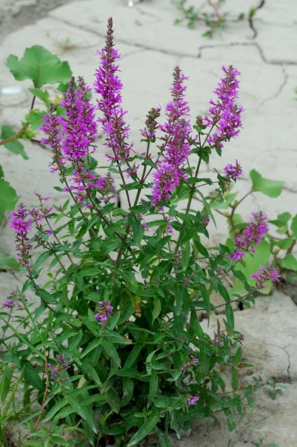 Lythrum salicaria 26