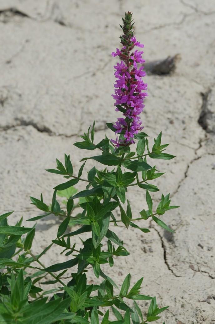 Lythrum salicaria 30