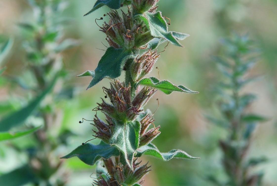 Lythrum salicaria 33