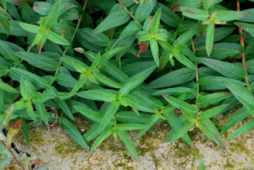 Lythrum salicaria 37