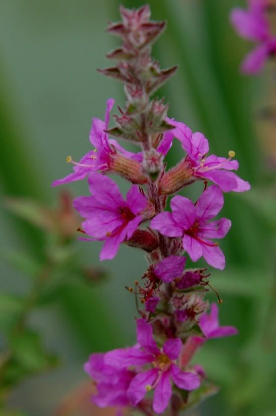 Lythrum salicaria 4