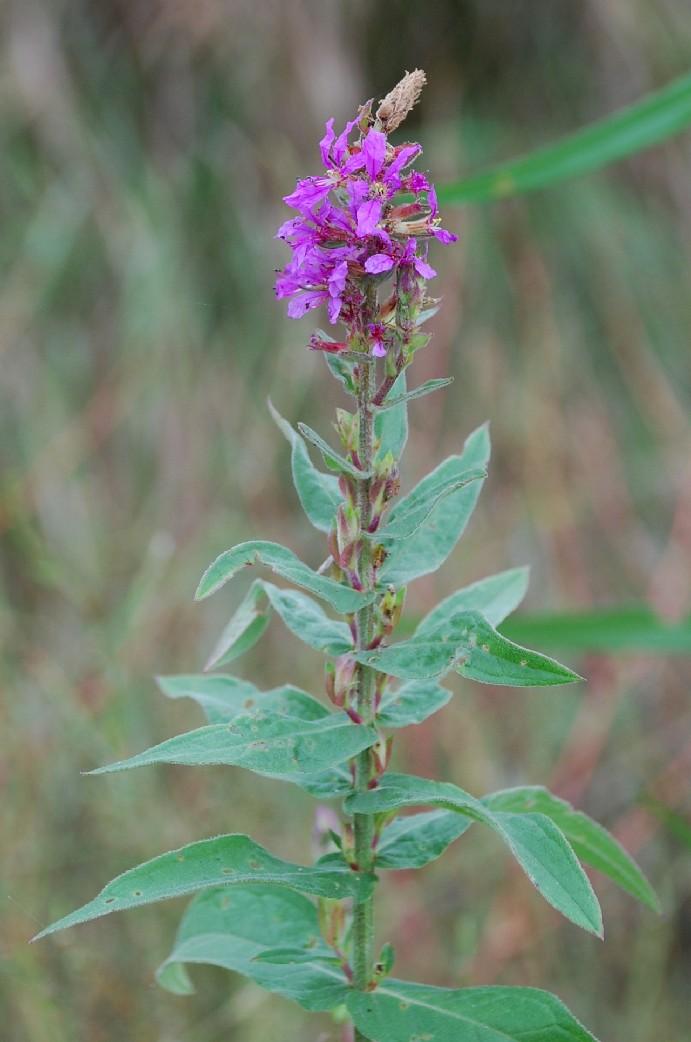 Lythrum salicaria 8