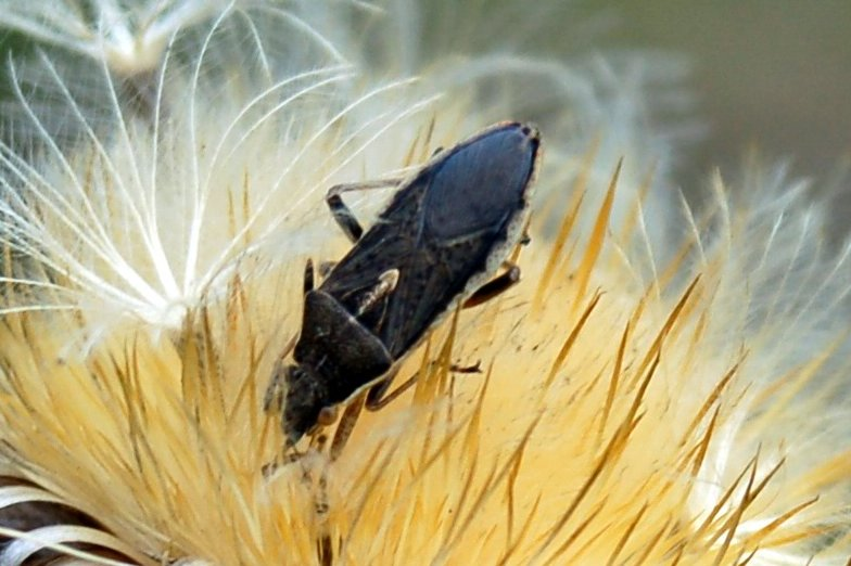 Maccevethus caucasicus - Rhopalidae