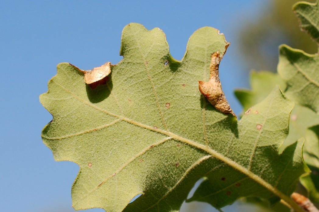 Macrodiplosis pustularis - Cecidomyiidae 3