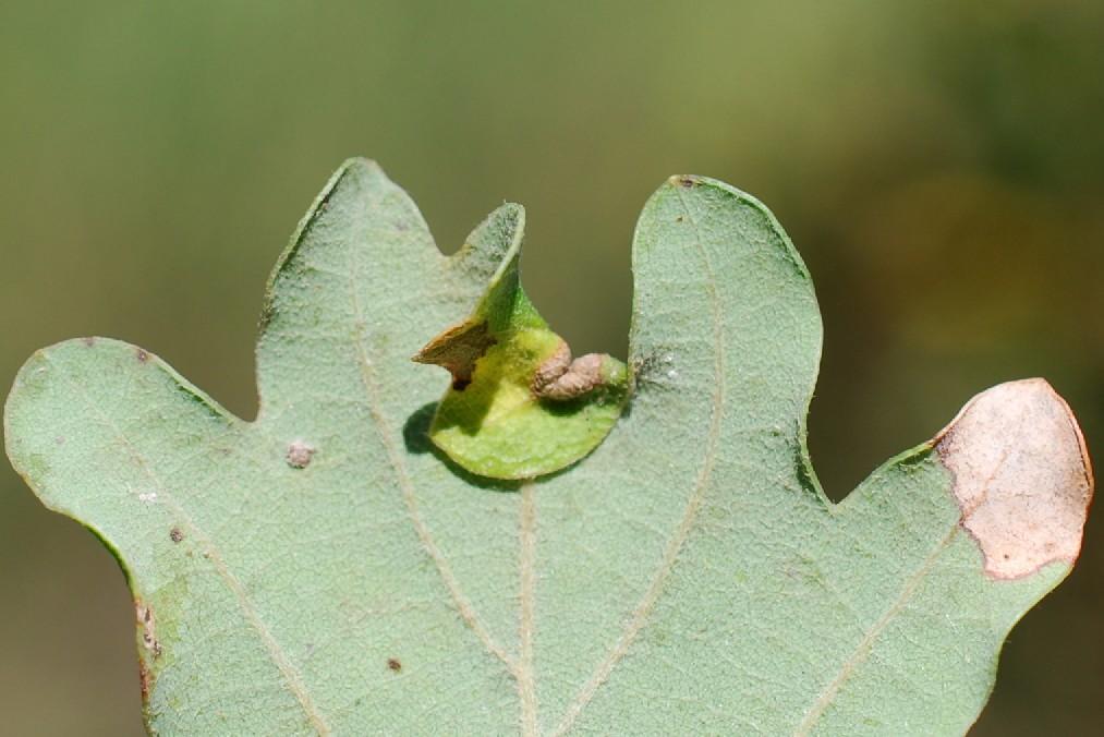 Macrodiplosis sp. - Cecidomyiidae