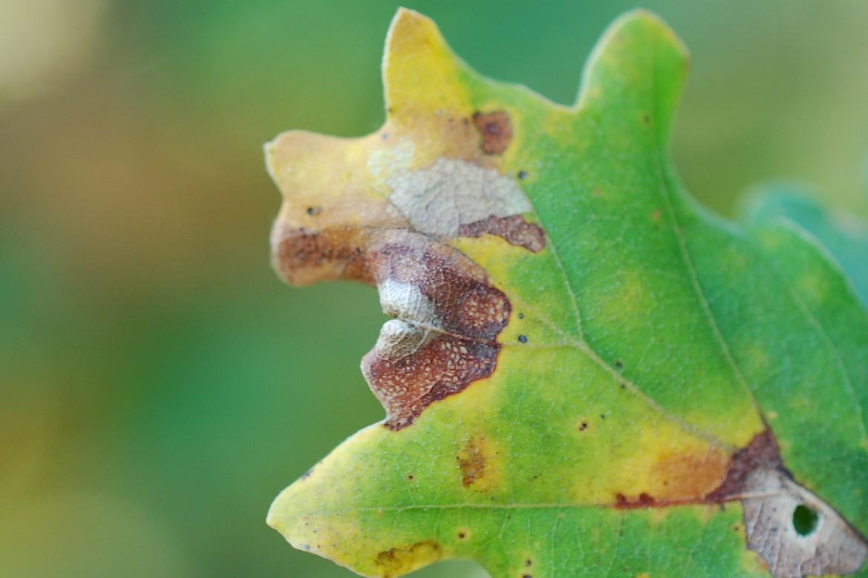 Macrodiplosis sp. - Cecidomyiidae 2