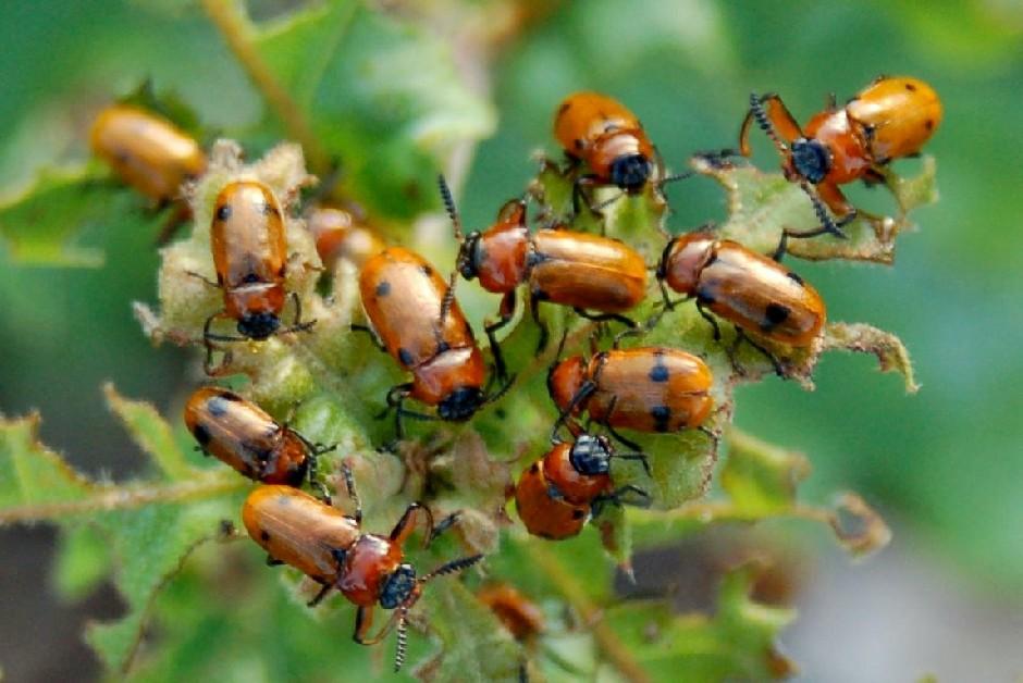 Macrolenes dentipes - Chrysomelidae