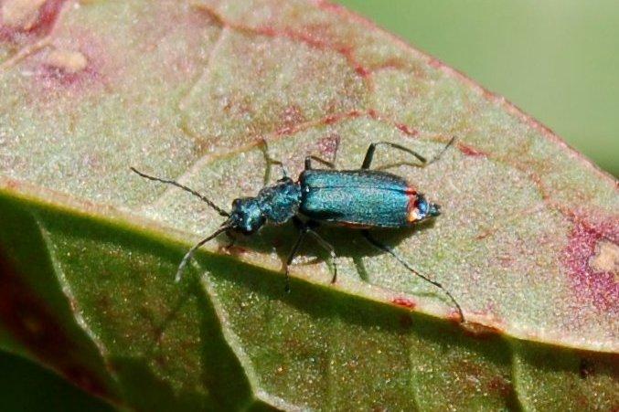 Malachius sp. - Malachiidae