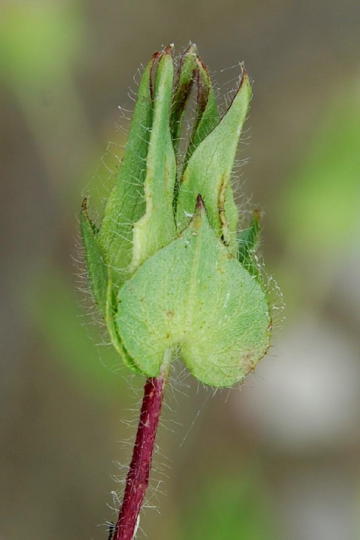 Malope malacoides 8