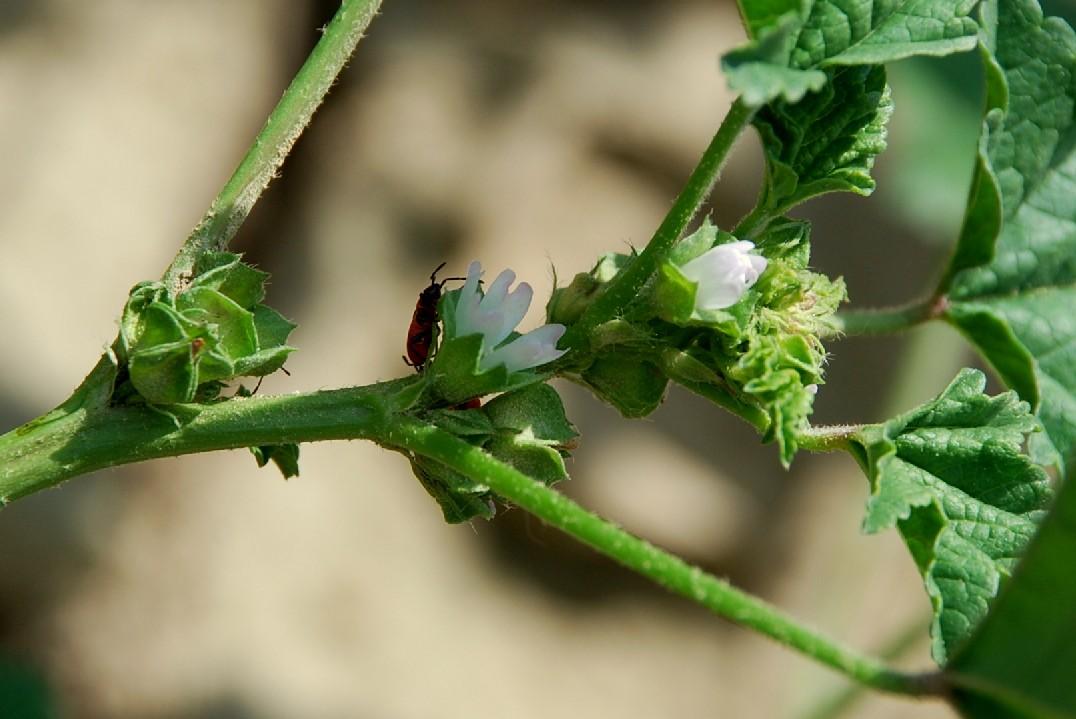 Malva parviflora 21