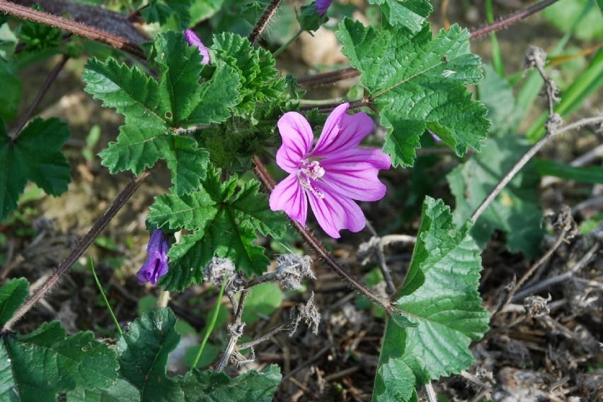 Malva sylvestris subsp. sylvestris 17