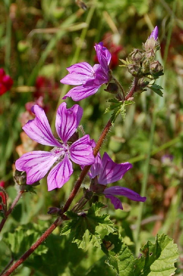 Malva sylvestris subsp. sylvestris 2