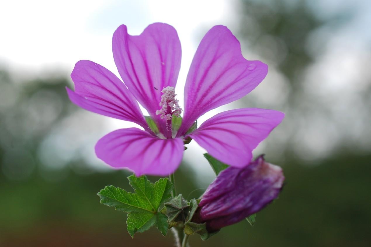 Malva sylvestris subsp. sylvestris 20