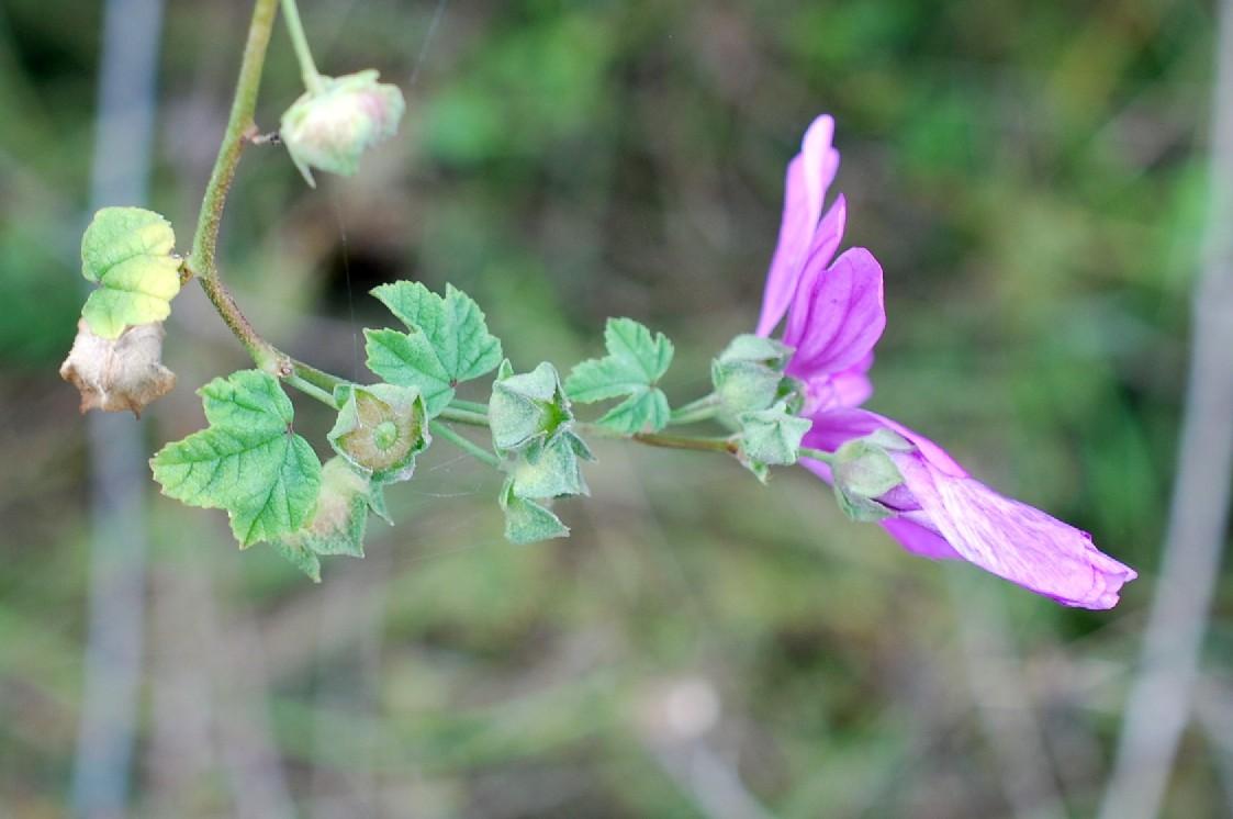 Malva sylvestris subsp. sylvestris 22