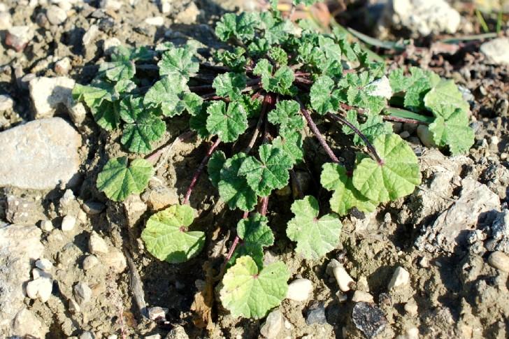 Malva sylvestris subsp. sylvestris 24