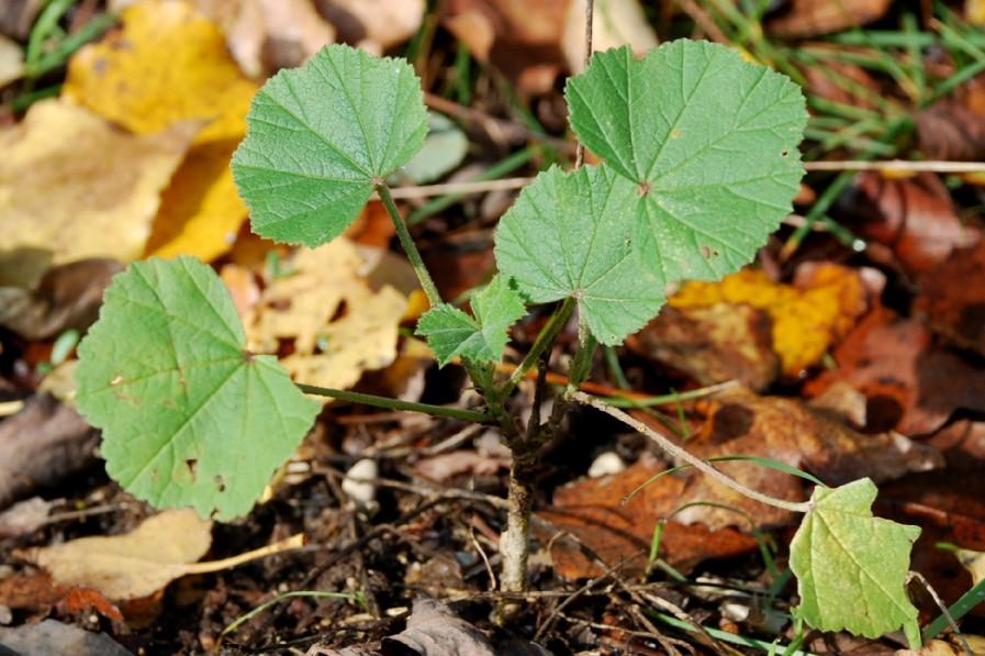 Malva sylvestris subsp. sylvestris 6