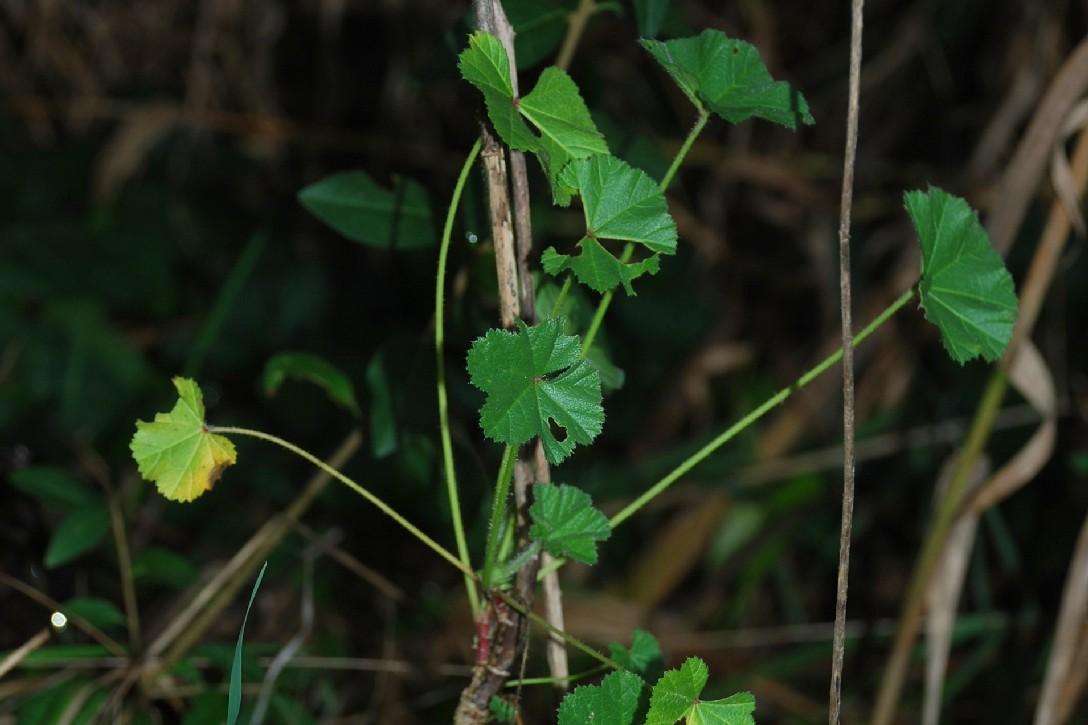 Malva sylvestris subsp. sylvestris 7