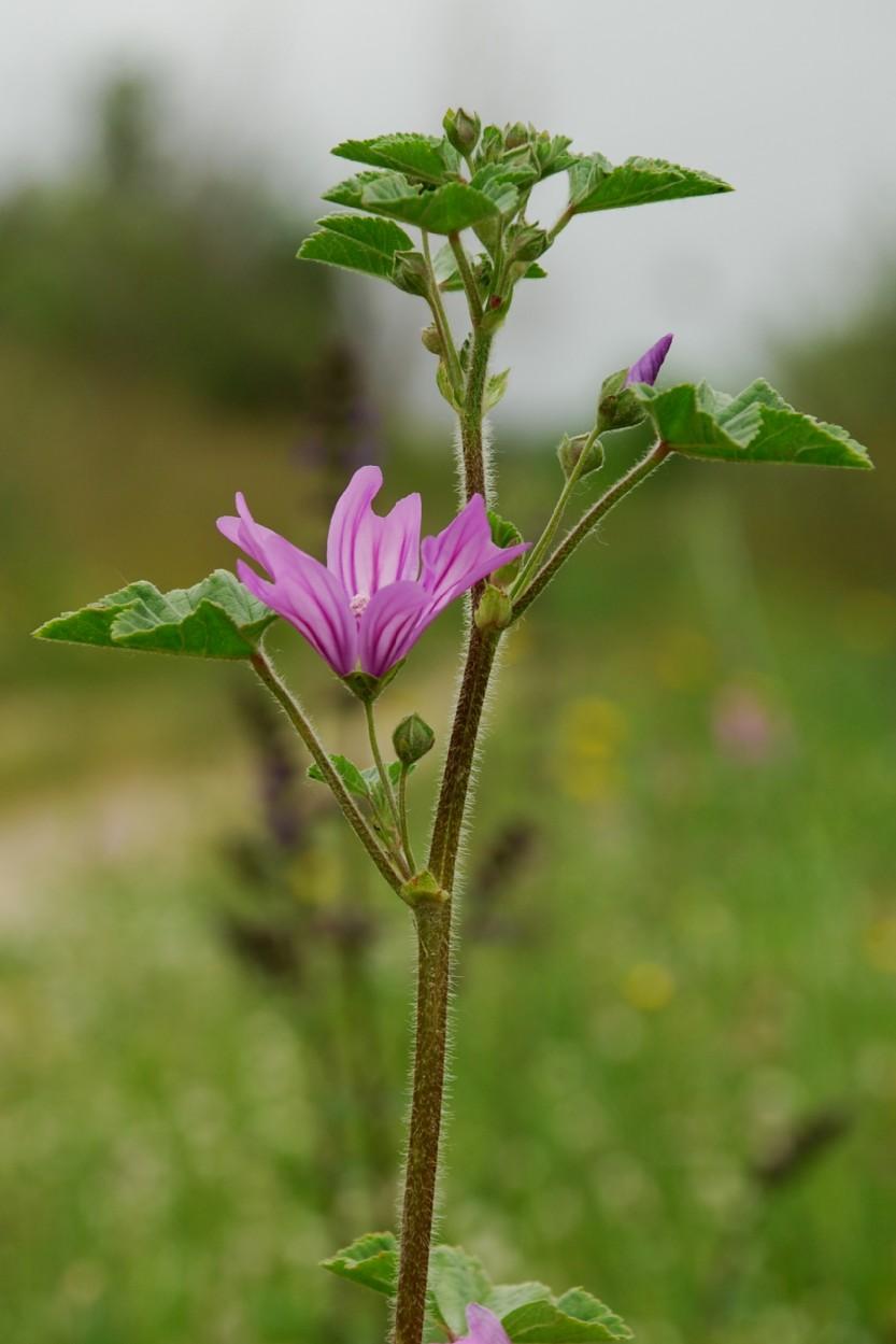 Malva sylvestris subsp. sylvestris 8