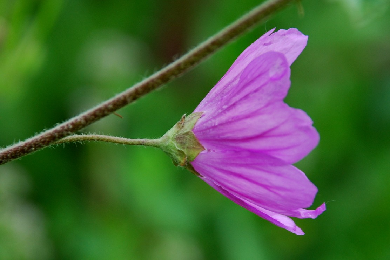 Malva sylvestris subsp. sylvestris 9