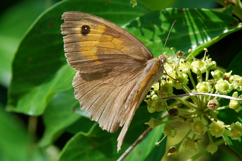 Maniola jurtina - Satyridae