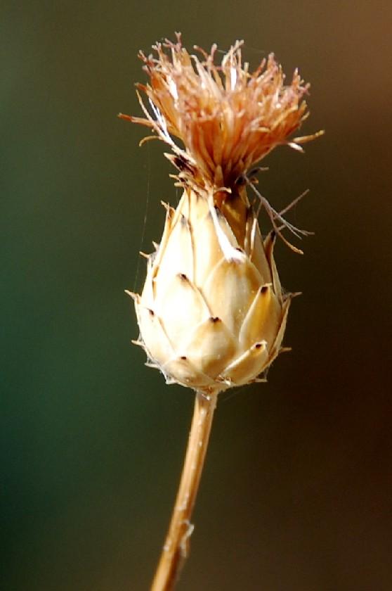 Mantisalca duriaei  5