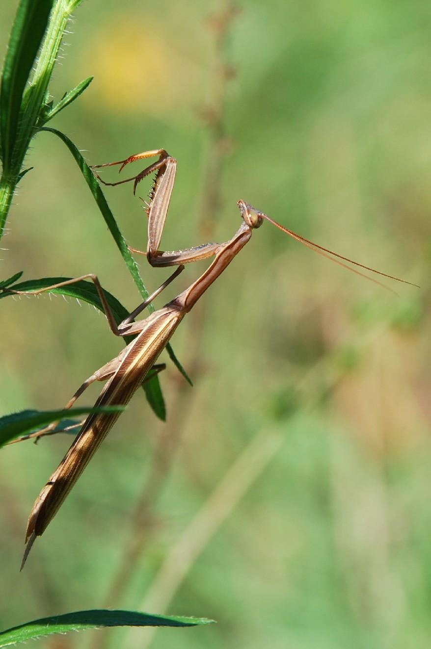 Mantis religiosa - Mantidae - Mantide religiosa