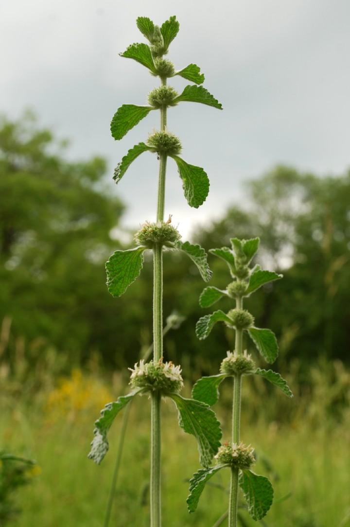 Marrubium vulgare 16