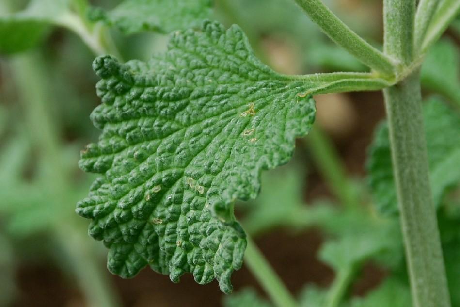 Marrubium vulgare 17