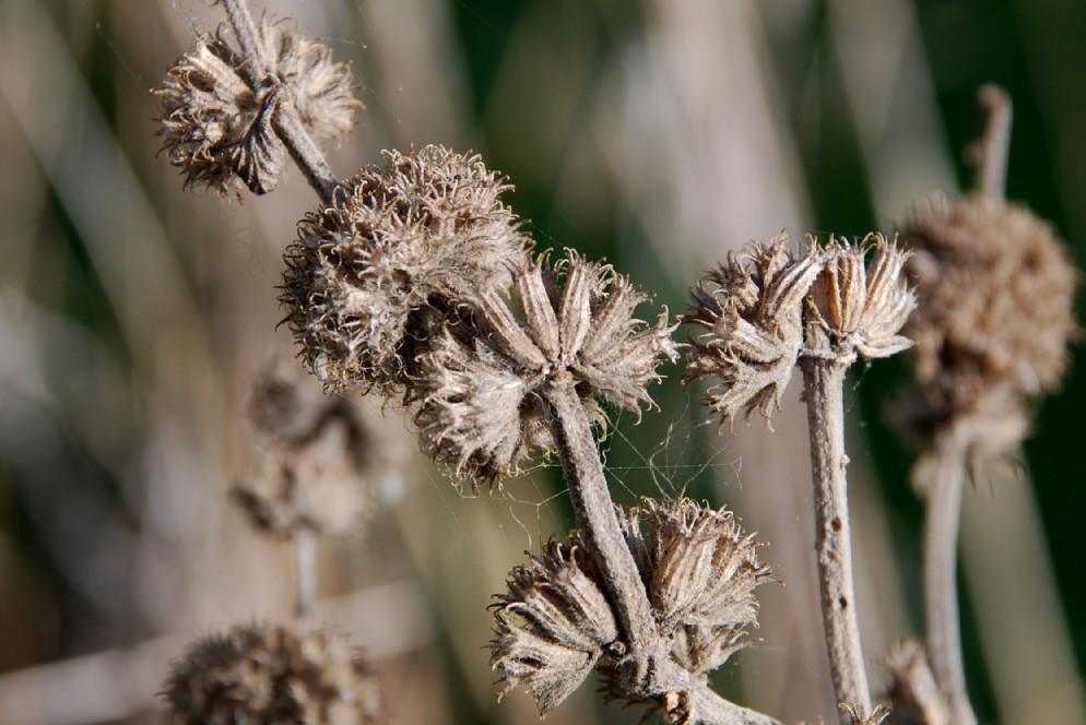 Marrubium vulgare 5