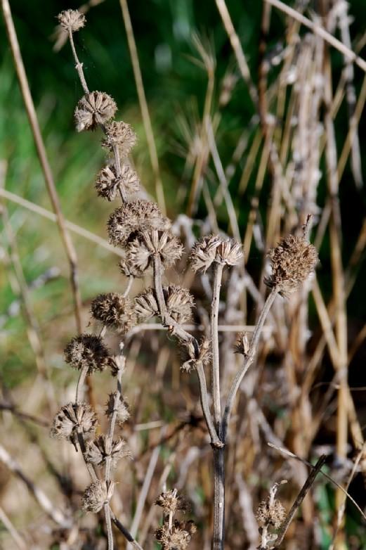 Marrubium vulgare 6