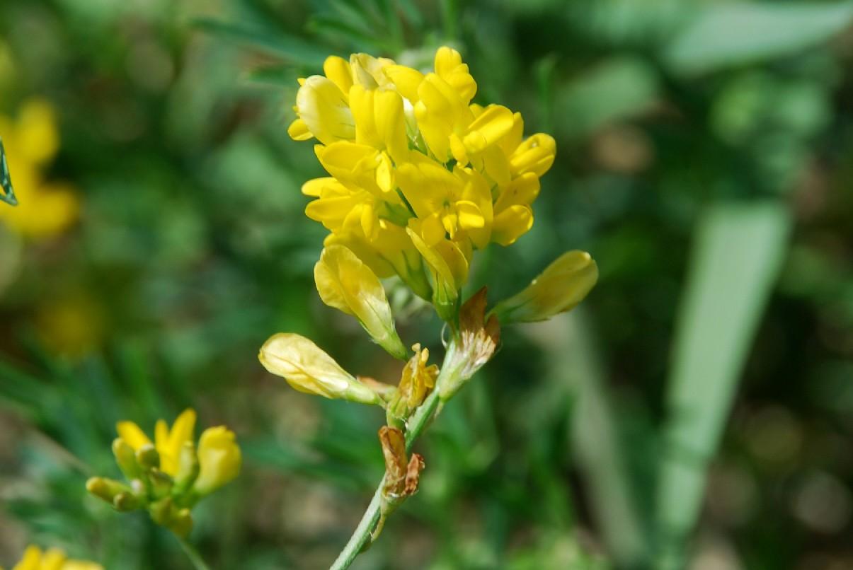 Medicago falcata subsp. falcata 10