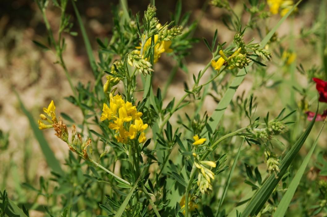 Medicago falcata subsp. falcata 13
