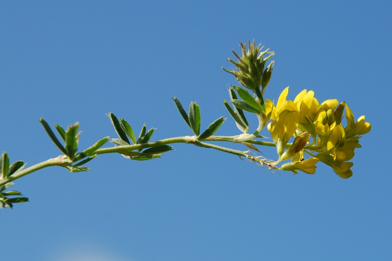 Medicago falcata subsp. falcata 2