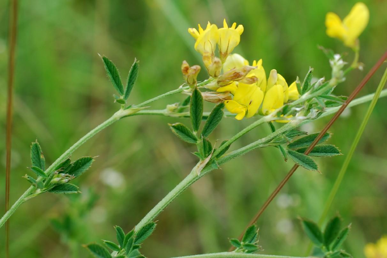 Medicago falcata subsp. falcata 20