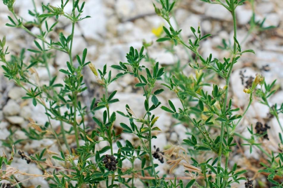 Medicago falcata subsp. falcata 21