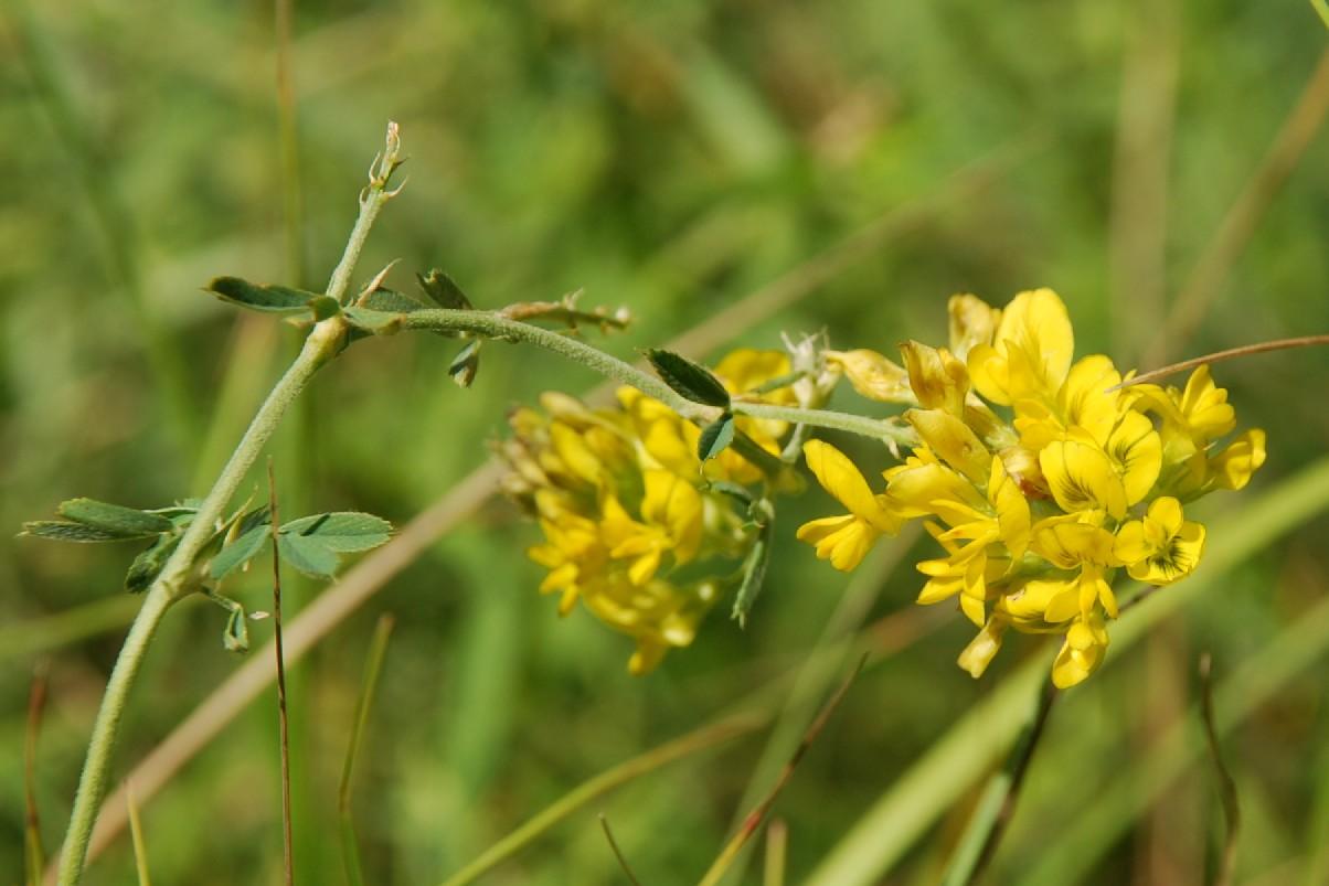 Medicago falcata subsp. falcata 4