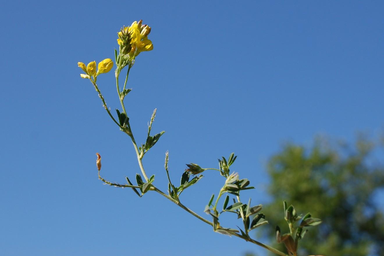 Medicago falcata subsp. falcata 6