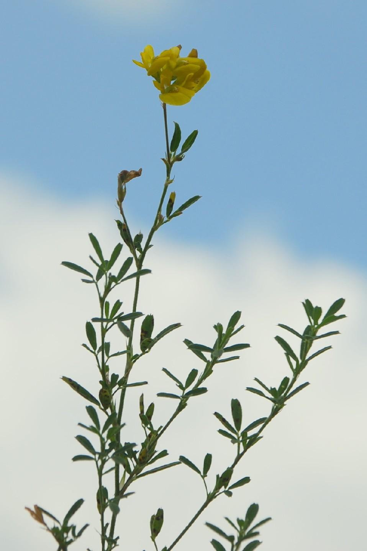 Medicago falcata subsp. falcata 9